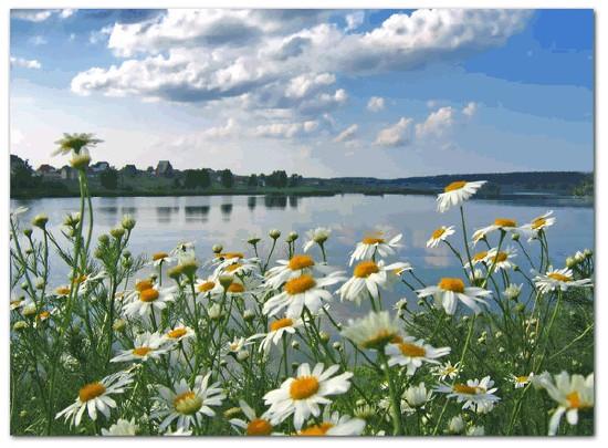 Ромашка описание растения с фото цветов  Какие бывают цветы