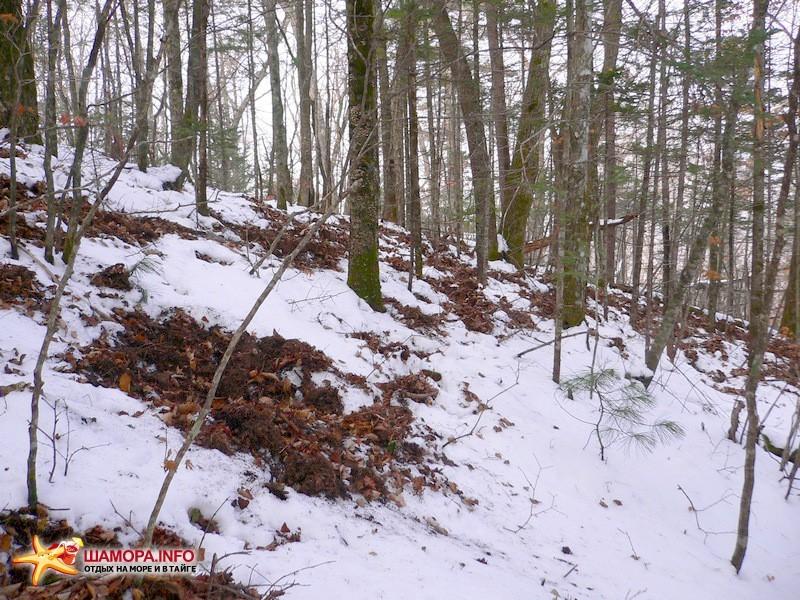 по хребтику несколко спускаемся в сторону следующей точки маршрута. На неглубоком снегу отчётливо просматриваются следы обитателей леса. Все торопятся нагулять жировые запасы перед холодами. Тут перевернули всё кабаныбарсуки. | Горы Пржевальского