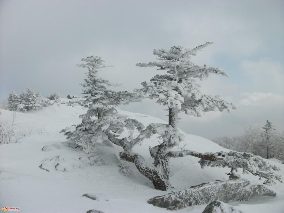 Хозяйка горы Такие чудные деревья живут на вершине Пидана | На Пидан налегке