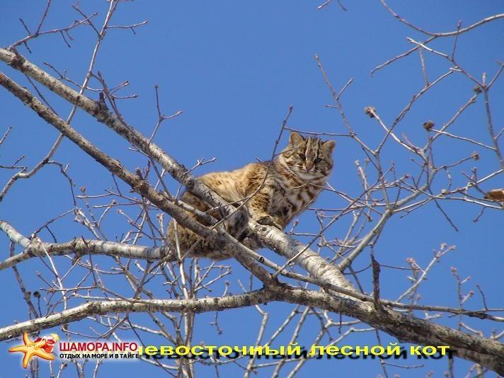 Лесной кот | Январь 2011г. в Сафари-парке