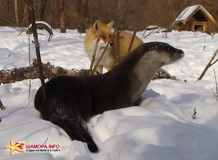 Лисица и выдра | Январь 2011г. в Сафари-парке
