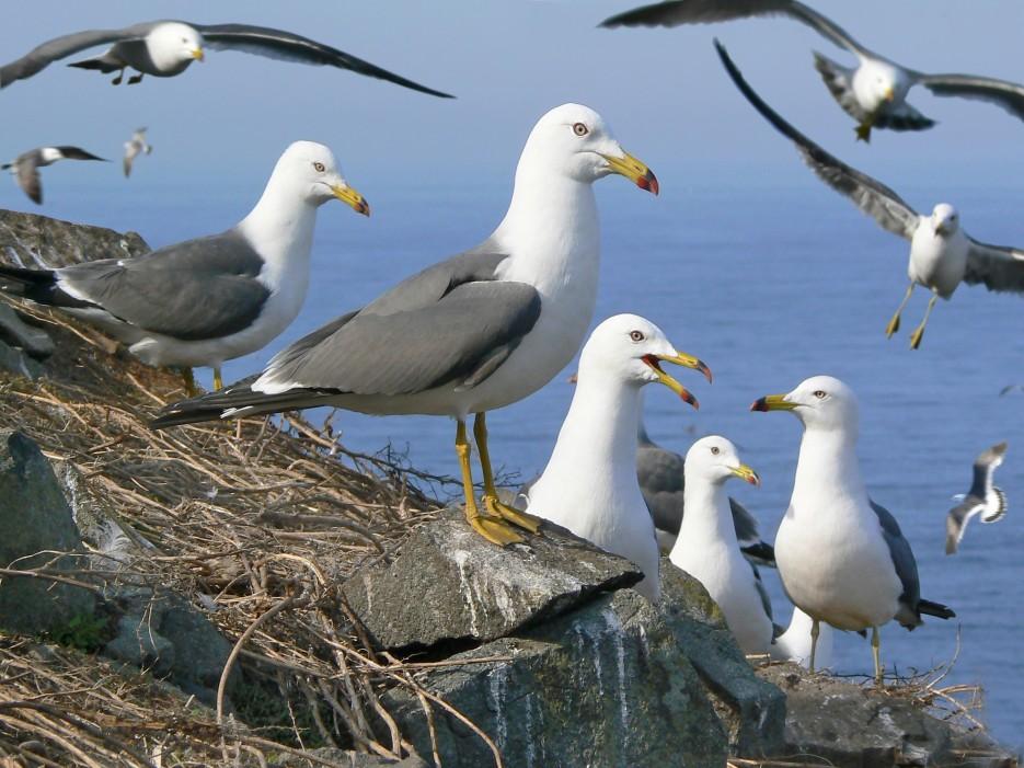 Птичий базар.  О.Карамзина.   ...А остальное - острова...  Хасанский район (альбом1)
