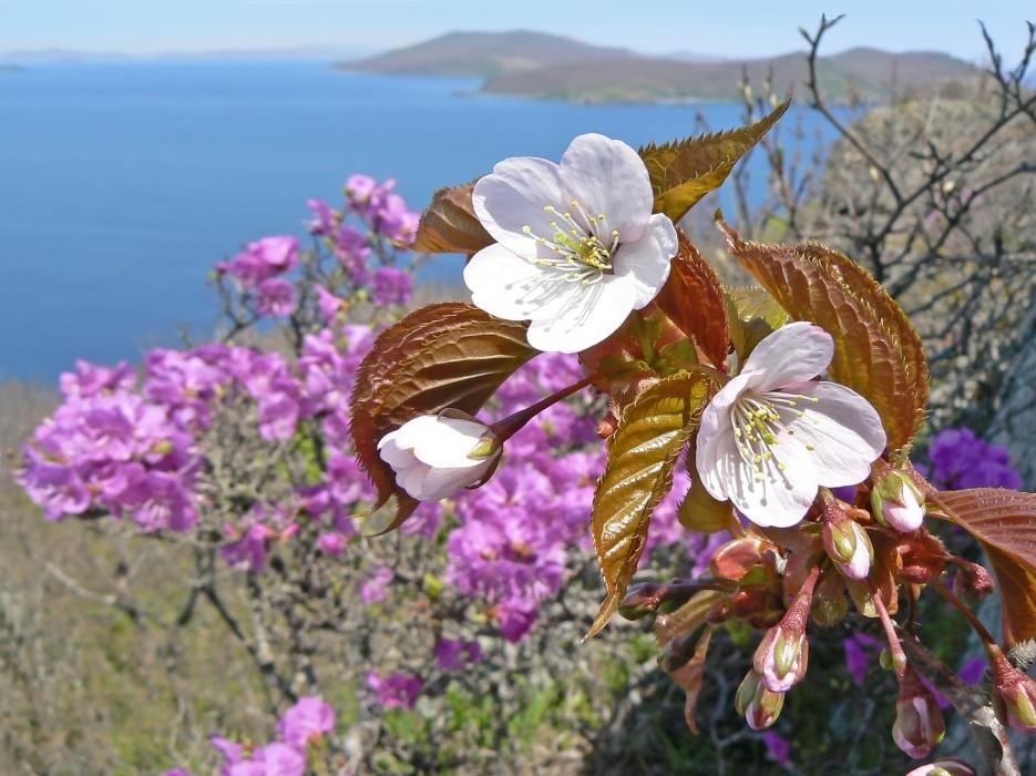 Рододендрон и абрикос.   Остров Кротова. | ...А остальное - острова...  Хасанский район (альбом1)