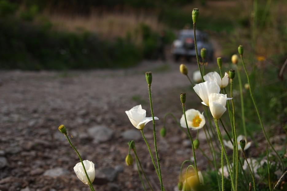 Приморские белые маки | Летние виды Преображения
