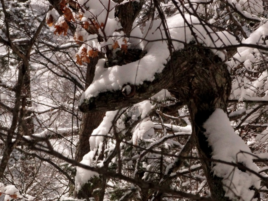 """Дерево-кобра (охраняет """"кольцо Фалазы"""" )   гора Фалаза (Литовка). Шкотовский р-он."""
