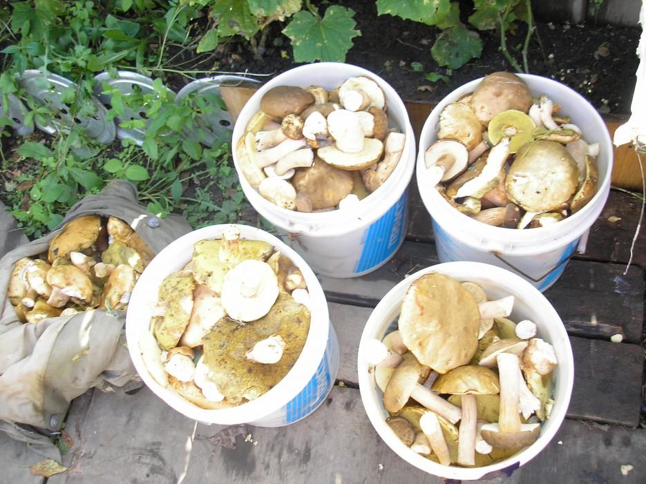 Год выдался урожайный, за 4 ходки 21 ведро из под теракко   Сибирцево