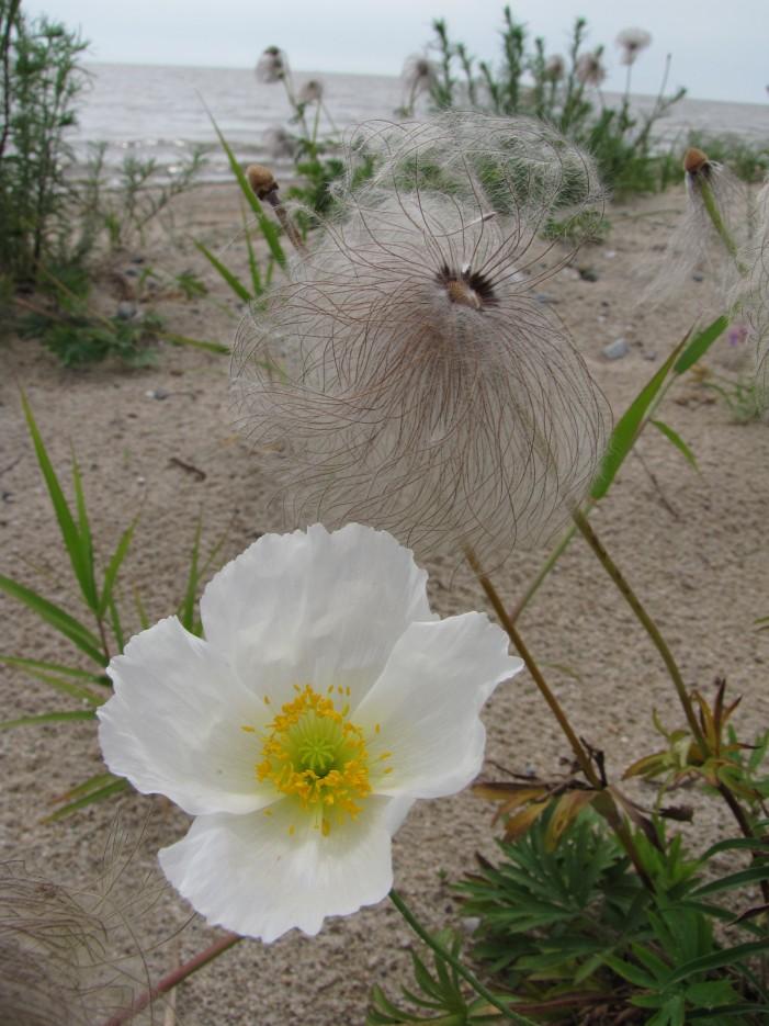Белые маки на побережье о.Ханка. Район деревни Турий Рог. | Озеро Ханка