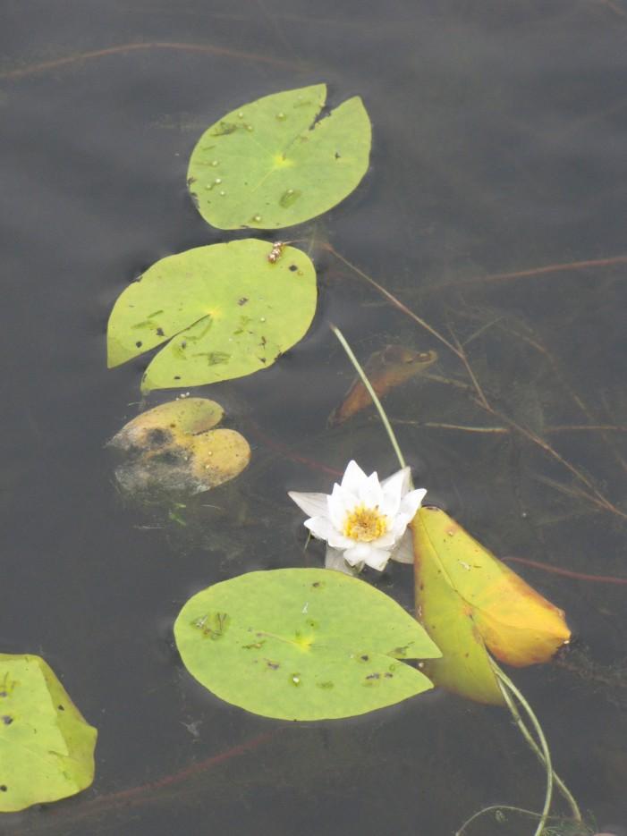 Кувшинка в небольшом болотце у берега о.Ханка. Район деревни Турий Рог. | Озеро Ханка