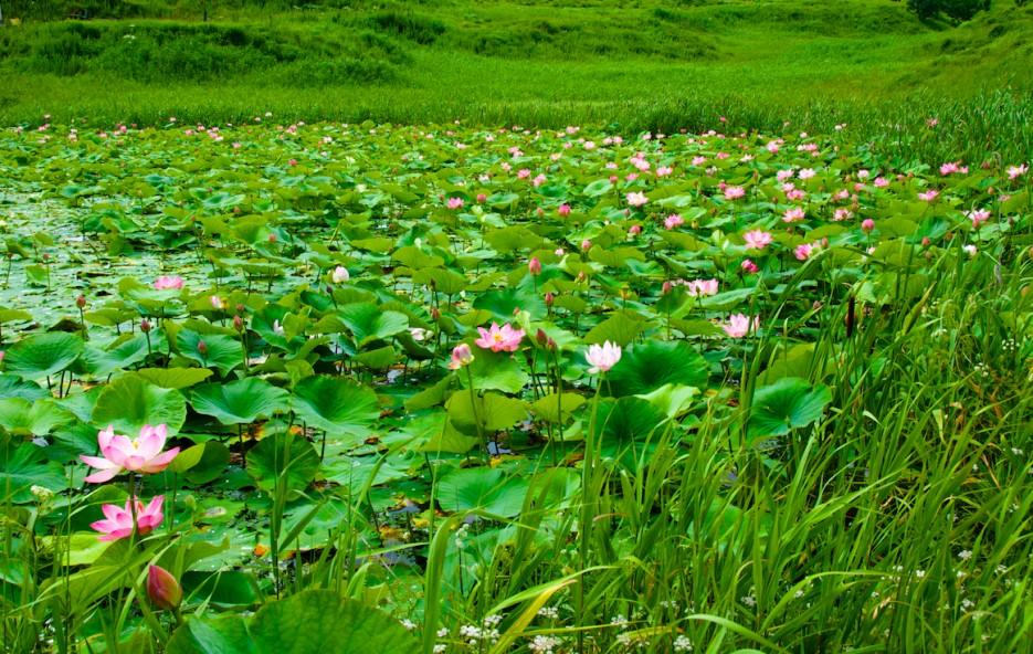 Лотосы цветут | Лотосы