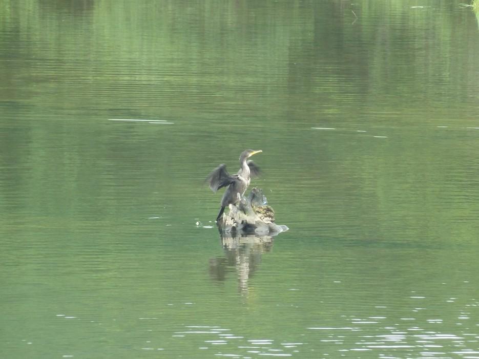Баклан расправил крылья на коряге торчащей из реки. Он их решил немного посушить. | Ольгинский район