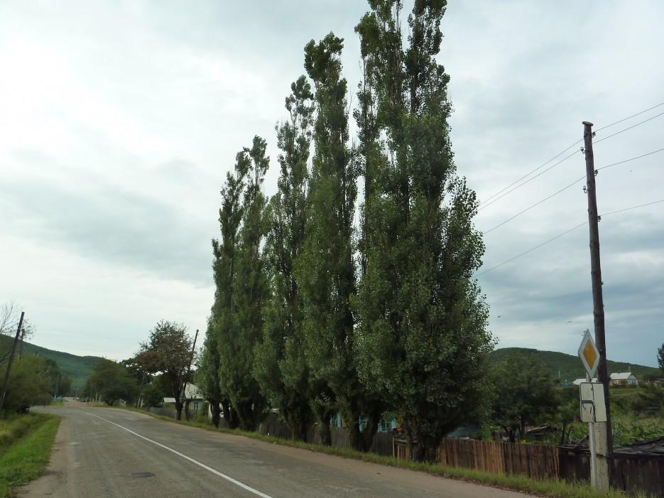 Три-четыре-пять тополей в рядок стоят! Они украшают одну из улиц поселка Ольга. | Ольгинский район