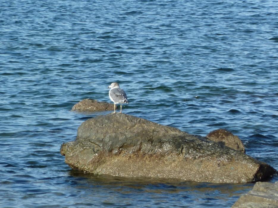 Чайка на камнях | Походы на остров Русский