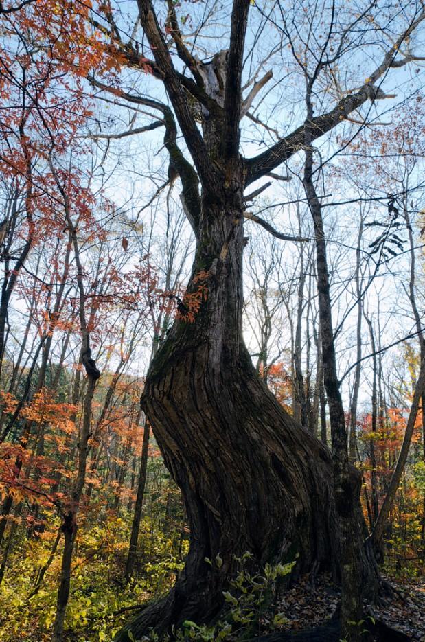 Второй ориентир - изогнутое дерево. По тропе не доходя до ключа Смольного. | Смольные пороги Ливадийского хребта. Золотая осень.