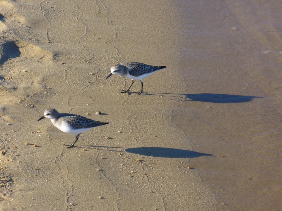 Два кулика отбрасывая тени внимательно исследуют песок. Они бы встали даже на колени, но нахватает длины ног! | Ольгинский район
