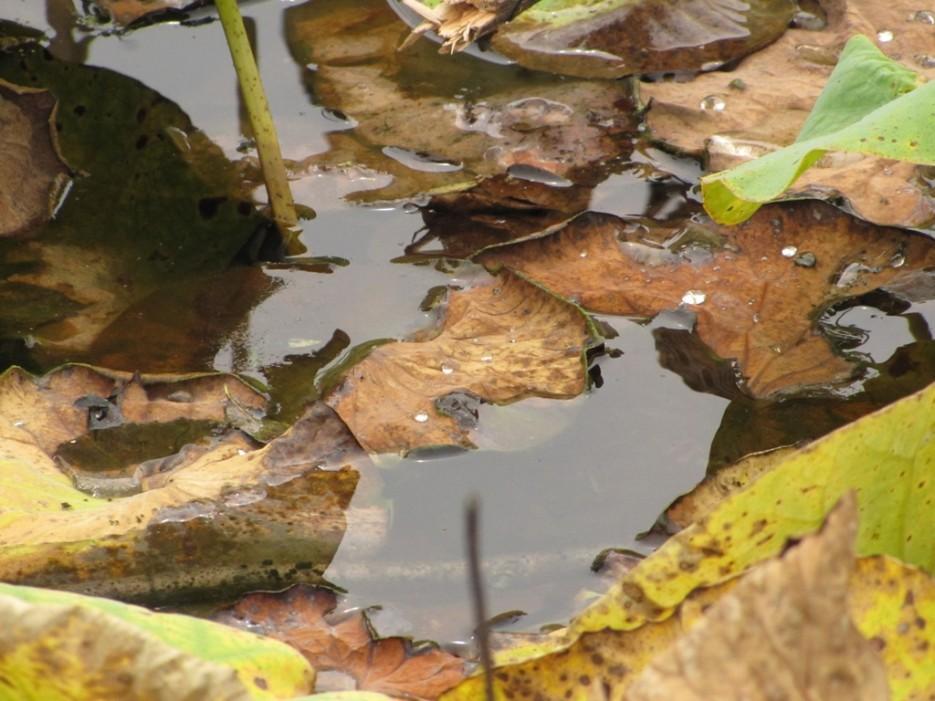 лотосовый пруд | Штыково