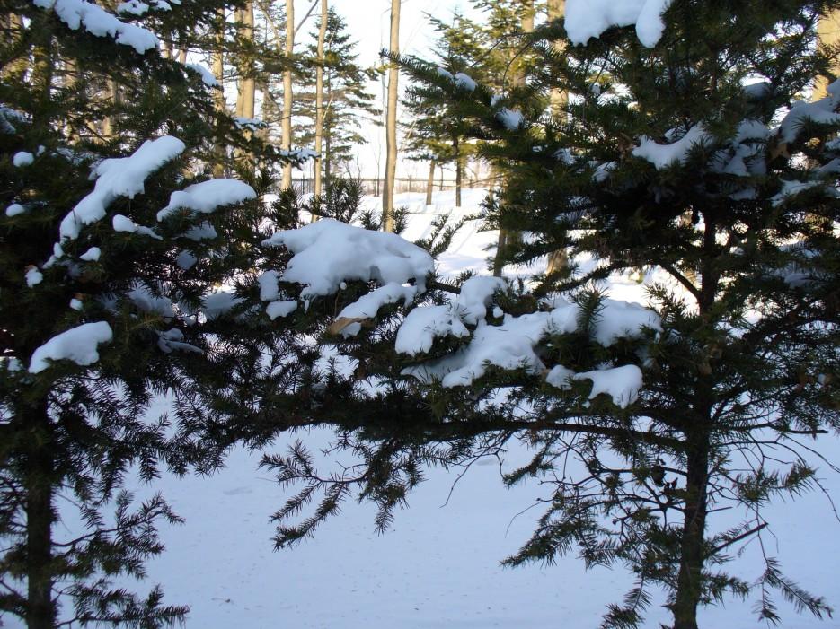 Мохнатые ели в снегу | Океанский военный санаторий