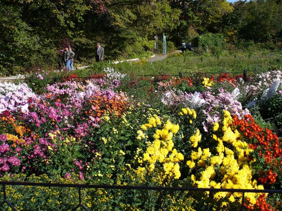 Осенние хризантемы | Ботанический сад