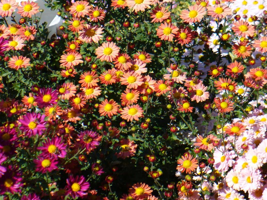 Ковер цветочный | Ботанический сад