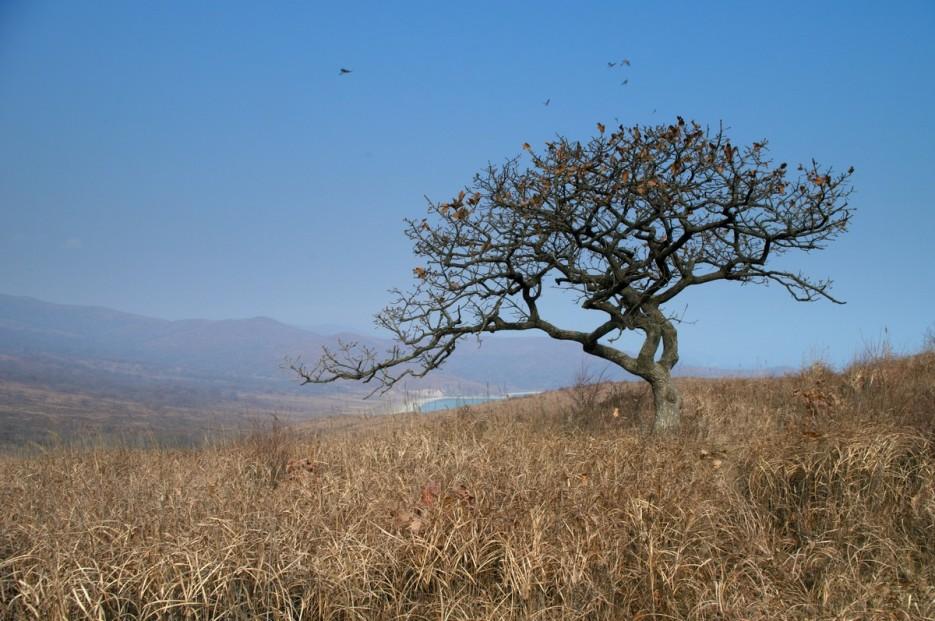 осеннее дерево | Полуостров Гамов и бухта Витязь