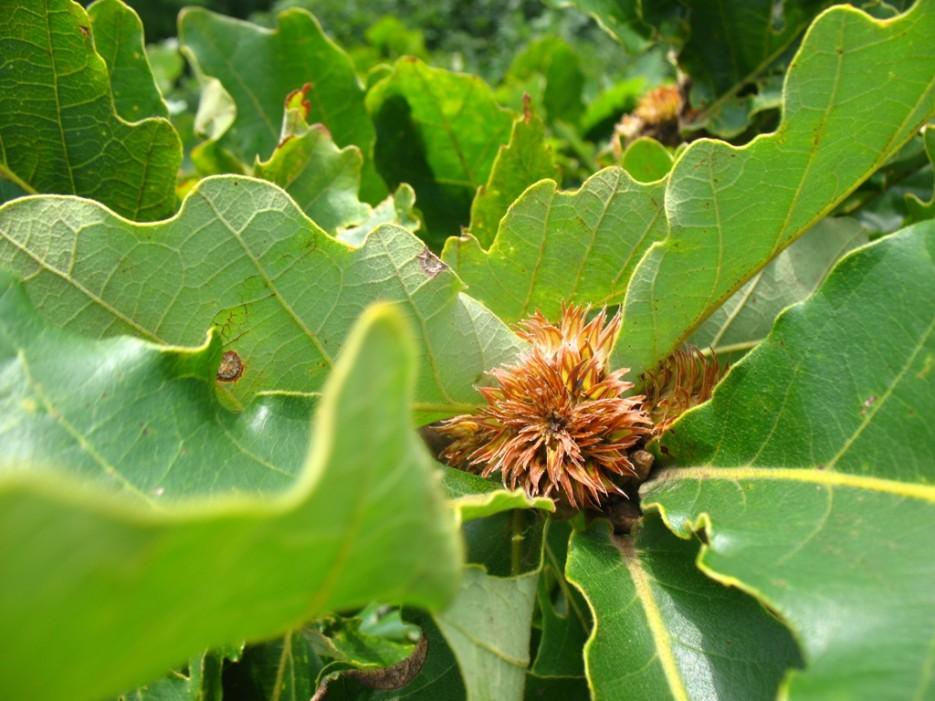цветок дуба | Бухта Песчанка