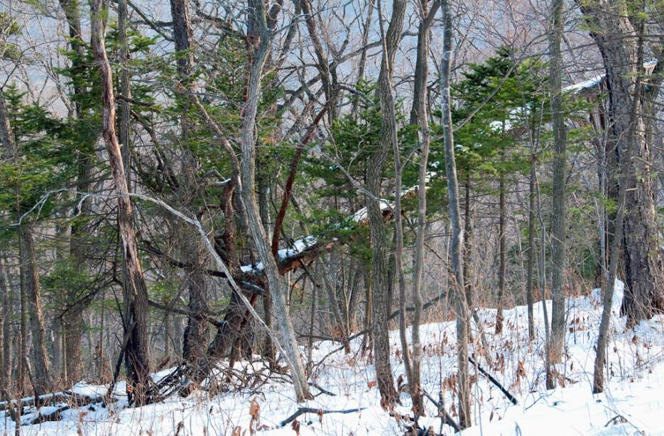 То там. то здесь встречаются ёлочки. | Ботанический сад и Седанкинское водохранилище. Зима-Весна.