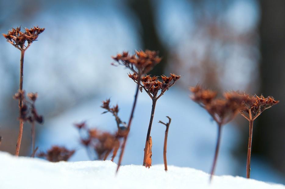 Сухие цветочки. | Ботанический сад и Седанкинское водохранилище. Зима-Весна.