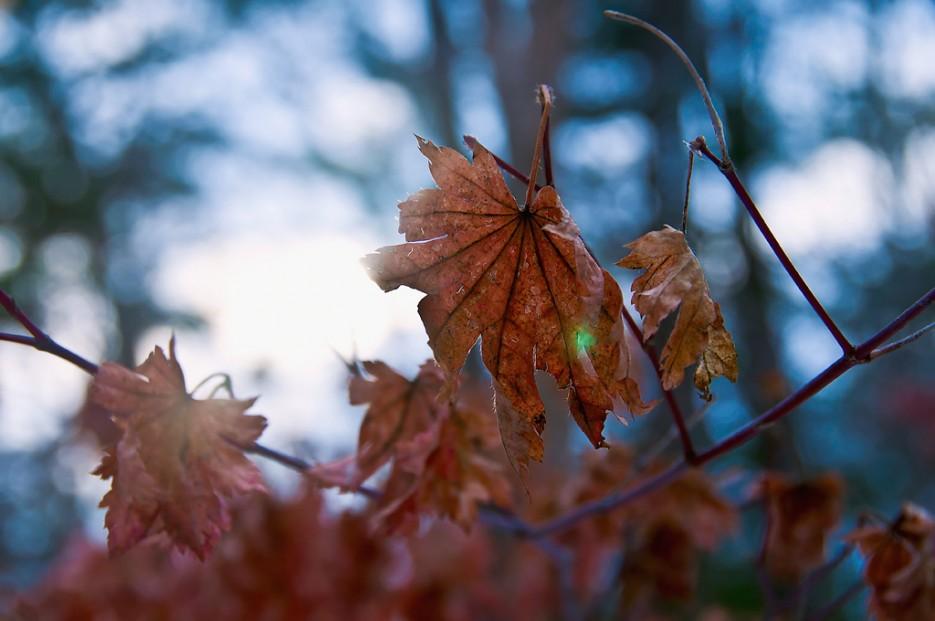 Увядший клён, сдавшийся зиме. | Ботанический сад и Седанкинское водохранилище. Зима-Весна.