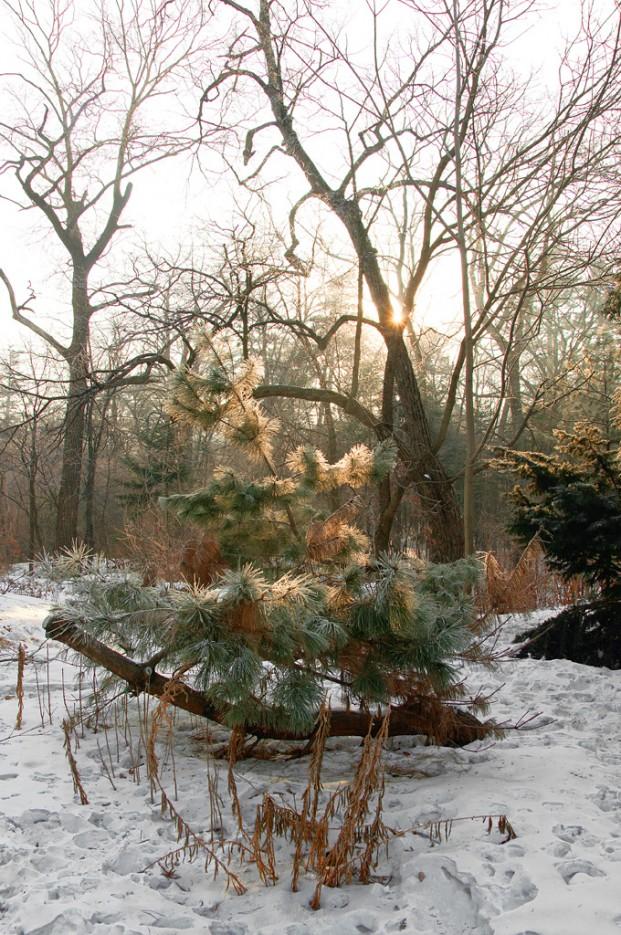 Солнечный свет сквозь хвою. | Ботанический сад и Седанкинское водохранилище. Зима-Весна.