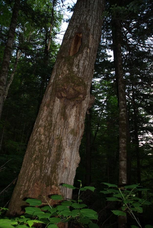 Гриб на дереве. Хребет зубы Дракона. По дороге к горе Сестра. Лазовский район. | Гора Сестра и хребет Зубы Дракона