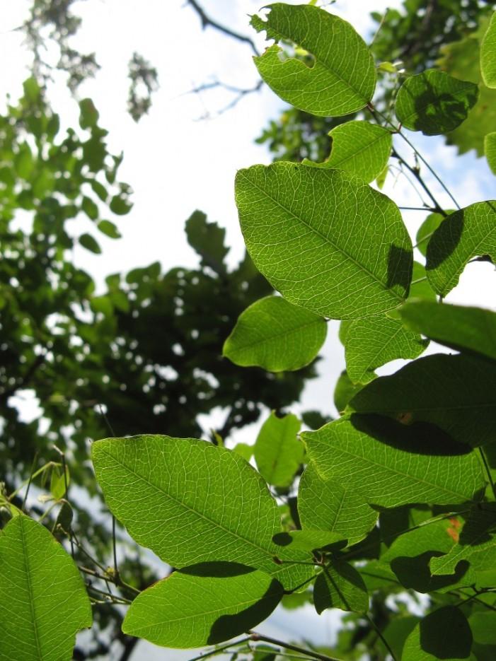 прозрачные листья | мыс Игнатьева