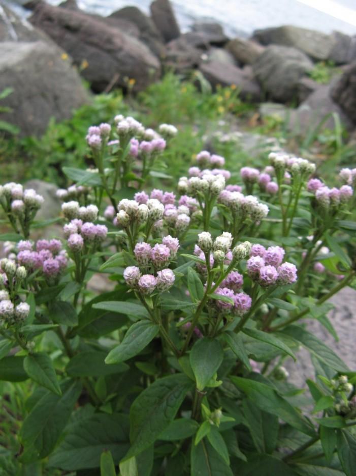 щедрые цветы | мыс Игнатьева