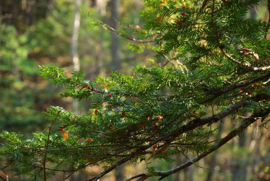 Тис с ягодой | Беневские (Еломовские) водопады