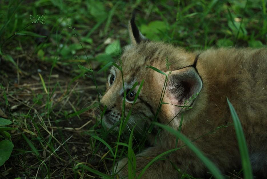 Рысь в траве | Владивостокский Зоопарк на станции Садгород.