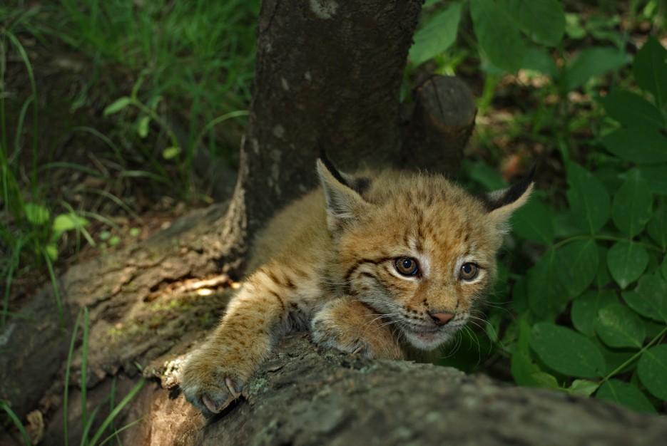 Рысь на дереве | Владивостокский Зоопарк на станции Садгород.