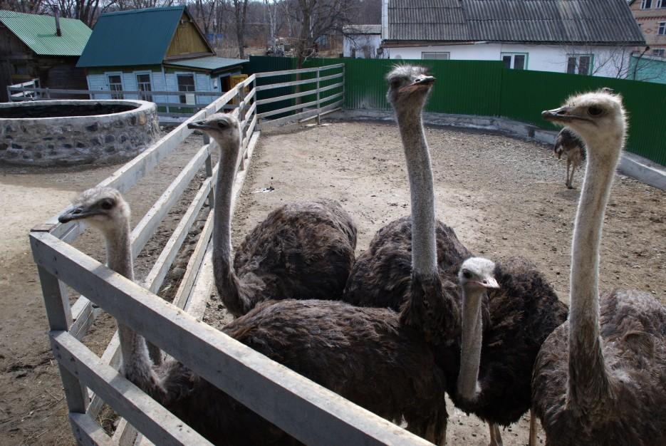 Страусы | Владивостокский Зоопарк на станции Садгород.