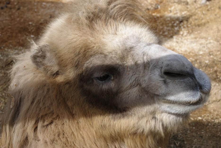 Верблюд | Владивостокский Зоопарк на станции Садгород.