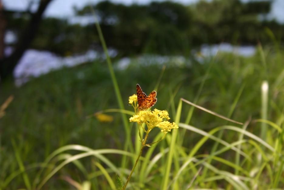 бабочка | бухта Теляковского, Хасанский район