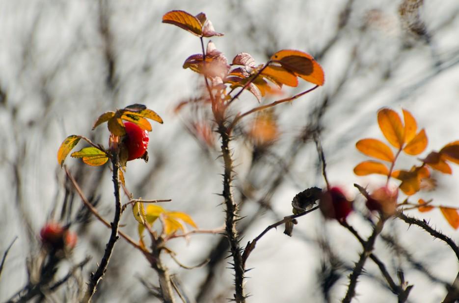 Шиповник осенью. Снято около побережья бухты Рында, острова Русский. | Природа Приморского края. Разное.