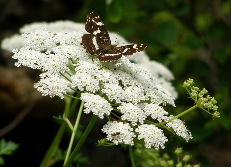 Бабочка Ленточница (р. Милоградовка) | Разное