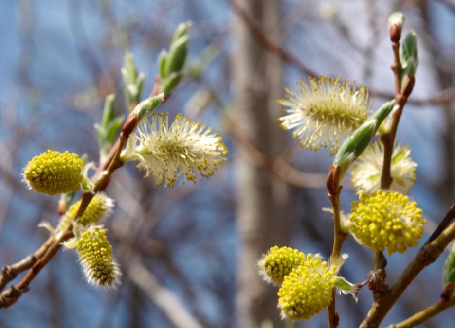 Верба цветет (хребет Чандолаз, Партизанский р-н) | Разное