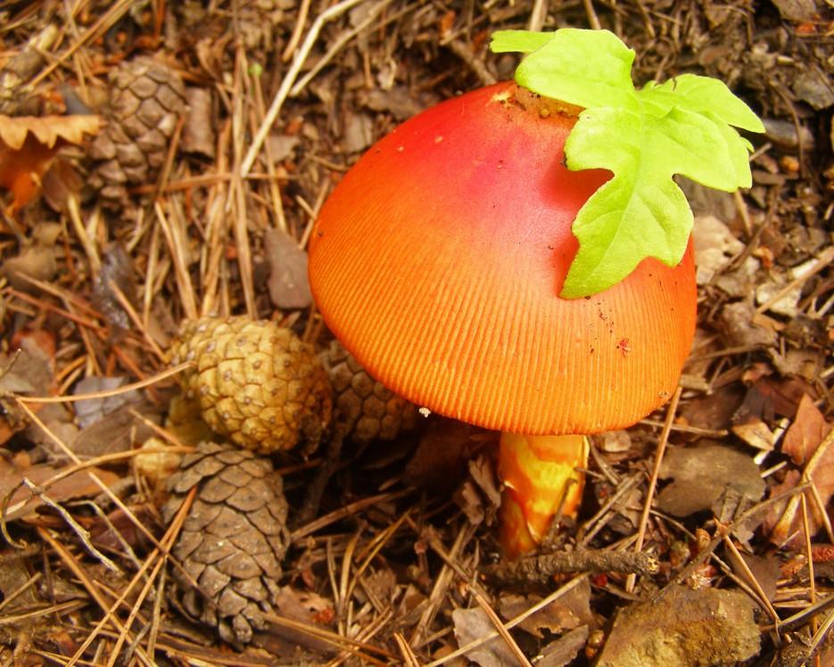 Кесарев гриб в бухте Теляковского (Хасанский р-н) | Разное
