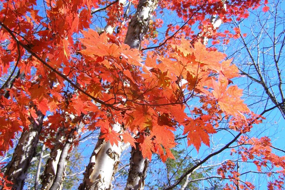 Красный клен у подножья г. Фалаза (Шкотовский р-н) | Разное