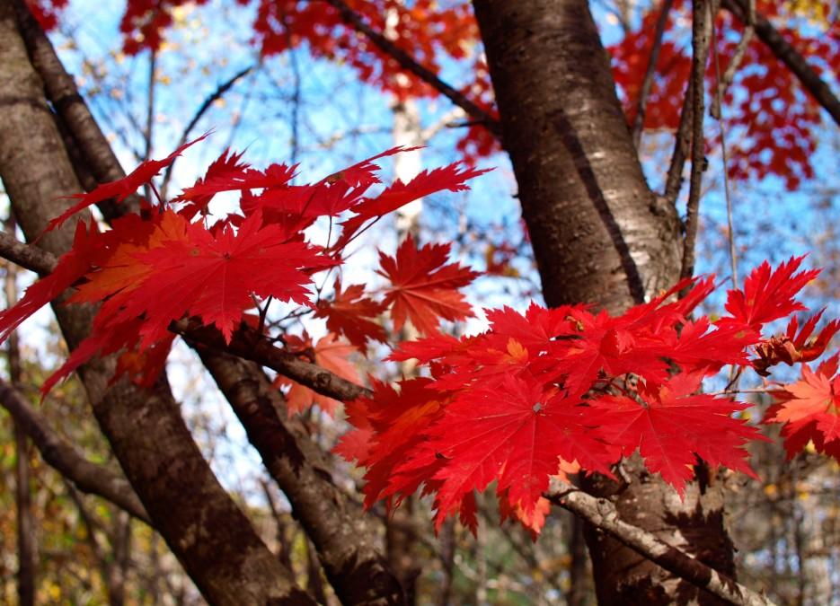 Осенний лес (клен у подножья г. Фалаза) | Разное