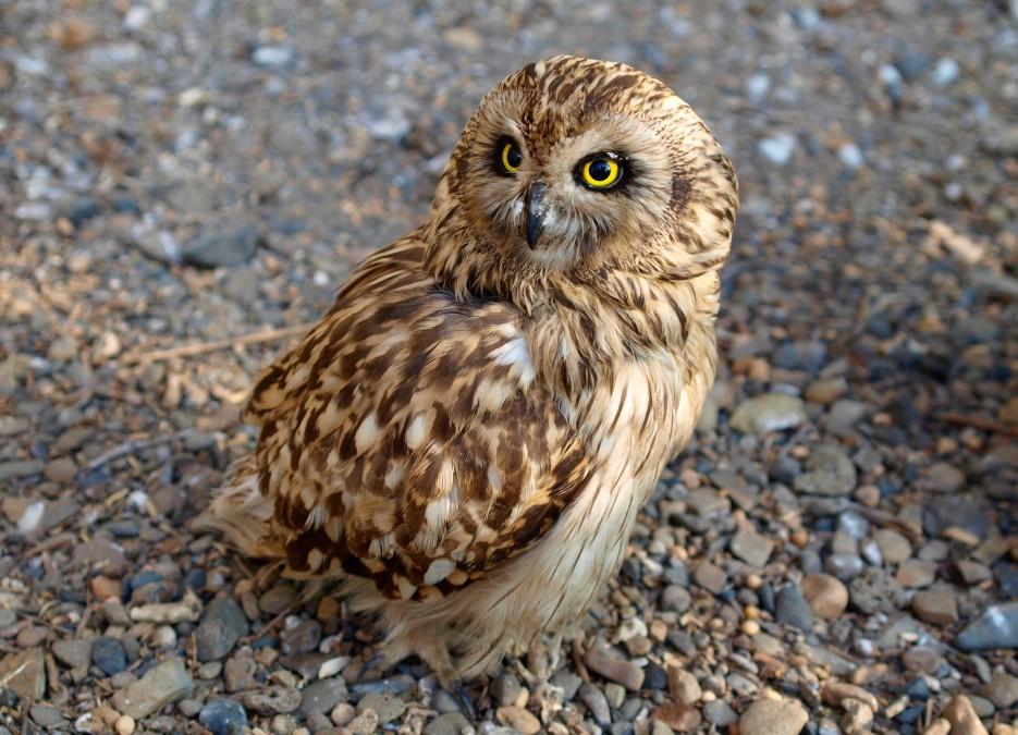 Ошейниковая сова (Сафари-парк, п. Шкотово) | Зверушки и птички
