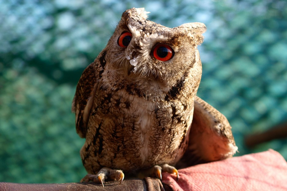 Маленький сыч (Сафари-парк, п. Шкотово) | Зверушки и птички