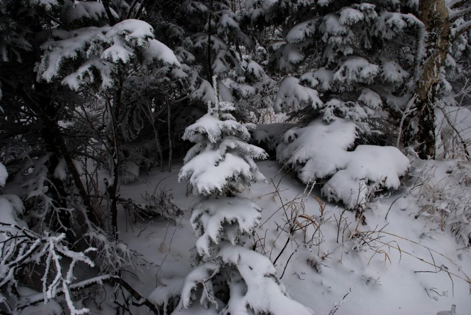 Елочки как котики   Партизанский район, выс. 1010 гора Чёрный куст