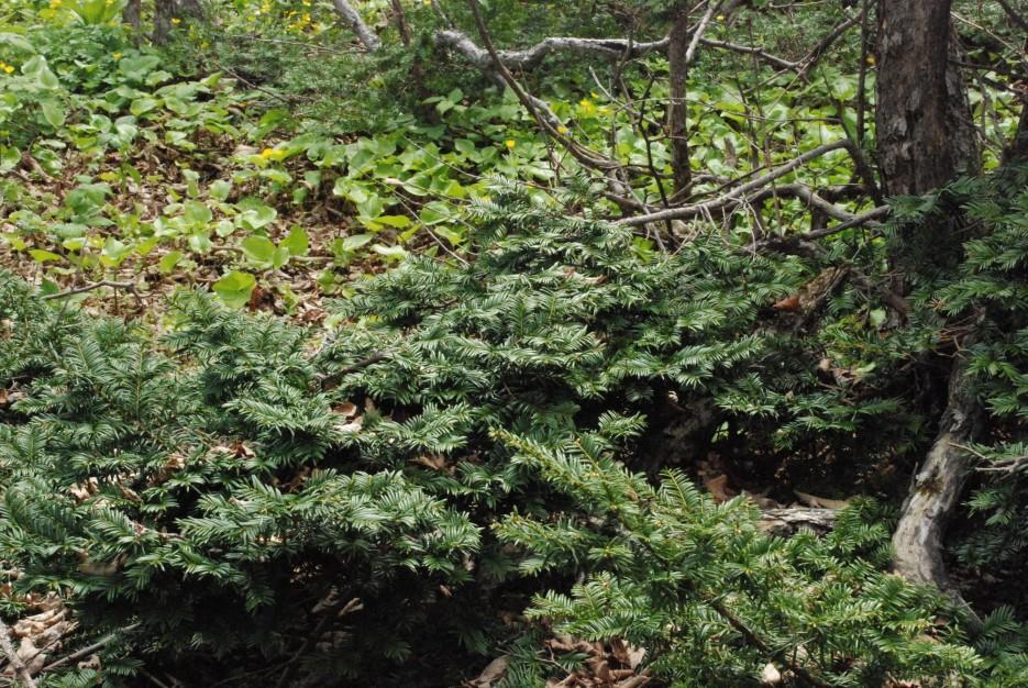 Маленький тис   Остров Наумова бакланьи гнезда