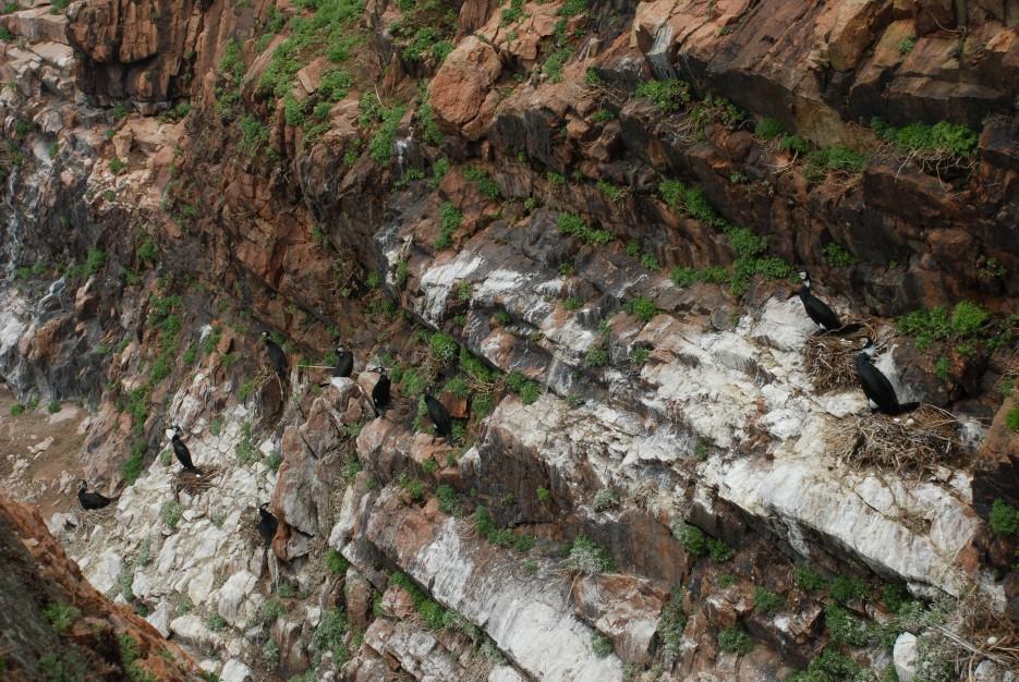 Бакланы на гнездах   Остров Наумова бакланьи гнезда