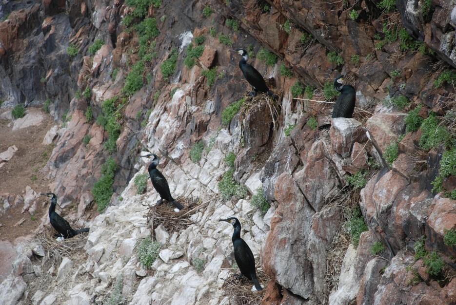 Бакланы на гнездах | Остров Наумова бакланьи гнезда