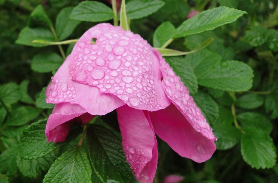 Шиповник цветет. | Дальневосточный морской заповедник